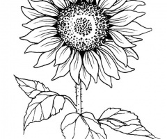 Sunflower Outline Drawing