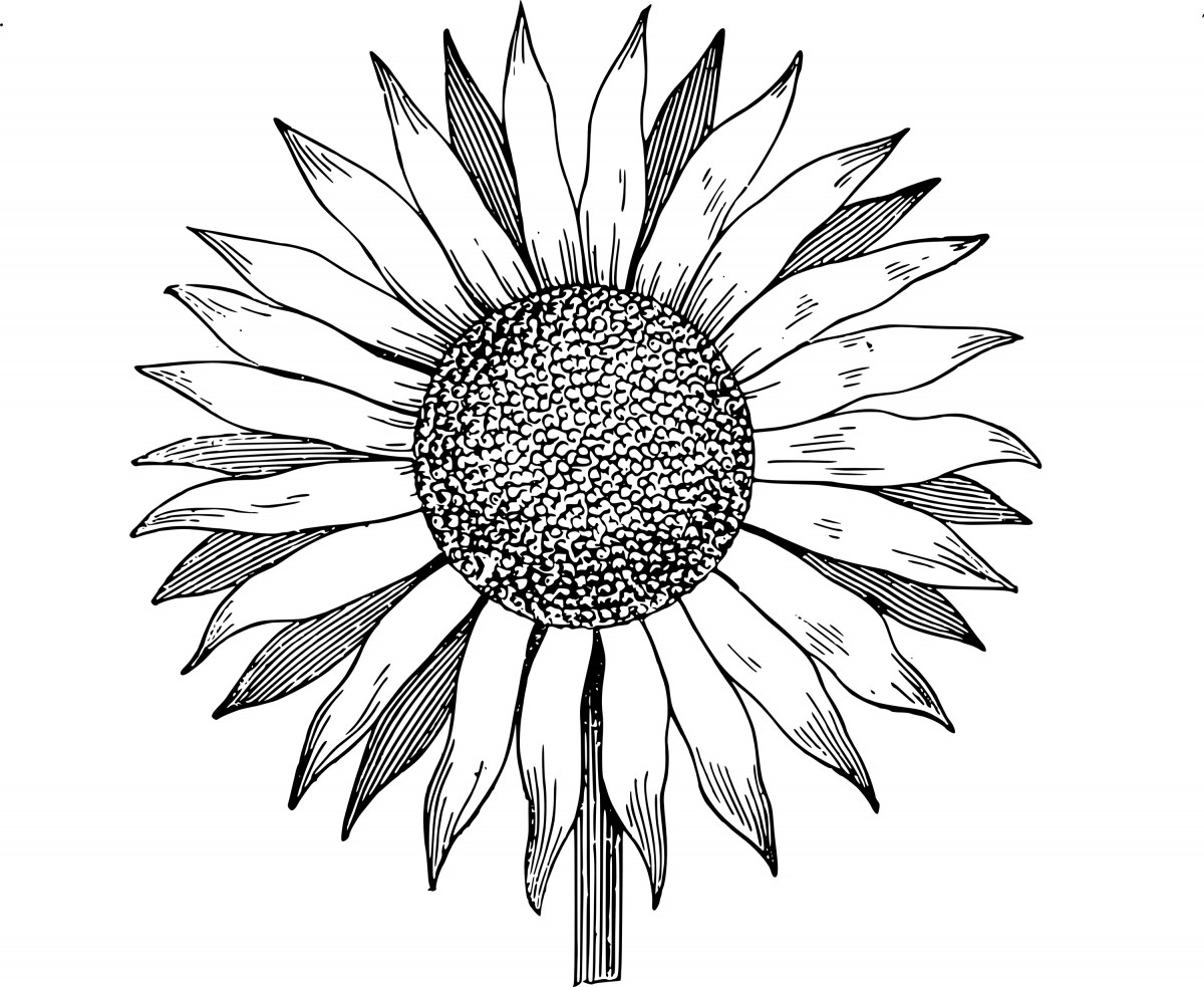 Simple-Sunflower-Drawing